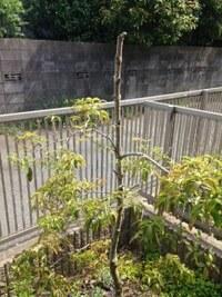常緑ヤマボウシ(1〜2年前に芯止め)の主幹が枯れてきました:庭に植えているのですが、日当たりはいいのにあまり元気は良くなく、なぜか枝の茂り方にも極端な偏り(左右差)がある状態でした。 しかし花付きなど良くないながらも花は咲き、少しずつ成長はしていました。咋夏にてっぺん部分が枯れているのに気がつき、秋頃に枯れている部分を切り落としました。(再び芯止めをしたような形)その後下方に向かってぐるっと...