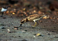 この鳥はオオメダイチドリ? メダイチドリ? 判定基準はなんですか?