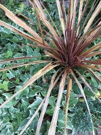 これはうちの花壇に植えてあるコルジリネレッドスターですが、葉が多数枯れ込んでおり、中の方の葉は虫に食われた様に千切れてしまっております。こうなってしまった原因にはどの様なことが考えられますか?また、今 後、復活させる方法はありますか?ちなみに、冬は防寒対策として葉を麻ひもで縛って越冬しました。