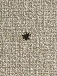 家の中にこのクモ頑張ります何匹かいます。 害のないクモでしょうか。教えてください、