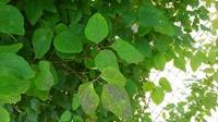 アケビの葉に黒いシミが付いています。病気でしょうか?