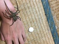 家で飼っている猫に追い回されてアシダカグモが卵を落としてしまいました。 可哀想なので、何とか元に戻す(掴ませる)方法はありますか?