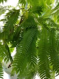 アクアリウム   流木はアク抜きに時間がかかるので、あきらめて室内にある観葉植物の枝を入れようかと思っています。観葉植物から切り取ったその部分の枝は、ほとんど枯れているような状態でした。 一応アク抜きしてから入れようかと。入れても魚には影響ないでしょうか?  エバーフレッシュというねむの木の仲間の観葉植物です。