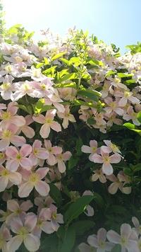 標高1000Mくらいの日当たりのよい歩道に咲いていました. かわいい4枚の花びらで、うすいピンクです. 花の名前がわかる方、教えてください. よろしくお願いいたします.