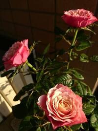 ミニバラの栽培について  ガーデニング初心者です(学生時に研究室内で観葉植物を育てようとして日光不足で枯らして以来です^^;) 今年の母の日にデパートの花屋で気軽に室内でも育てられるとお勧めされミニバラの鉢を贈ったのですが、母は喜んだものの世話が面倒だったようで(昔はガーデニングを楽しんでいました…)急遽私が世話をする事になり慌ててバラの本やネットで調べているのですが分からない事だらけの...