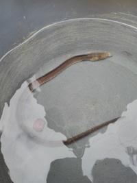 昨日福岡県の新宮漁港に夜釣りに行ったのですが、河口がありそこで釣りをしました。  小さいウナギが釣れて自宅のビオトープで飼おうと思い持ち帰りました。 昨日は雨が強く形がウナギだった のでサッとバケツ...