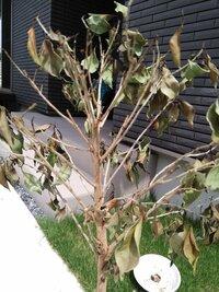 観葉植物 ベンジャミンが急に枯れ始めてしまい1ヶ月ほど経ちます。 土がカビてしまってたので今日変えようとおもったら、カビているのは表面だけで中は大丈夫そうでした。 この状態からまだ 復活させることはで...