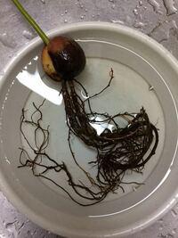 アボカドの葉が全部枯れてしまいました。 もう復活はできないでしょうか。 根の状態は黒く、写真の状態です。