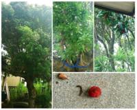赤い実のなる木の名前  画像の木の名前が分かる方はいらっしゃいますか? 実は赤色で、1.2cm程のサイズです。この時期になると大量に地面に落ちます。背の高い木です。