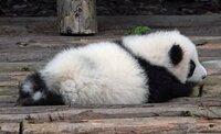 パンダはどんな匂いですか?いい匂いがしますか?  肉食動物は獣臭いそうですが、笹ばかり食べているパンダはやはりいい匂いがするのでしょうか。 お日様みたいな匂いだったらいいなと思いま す。 糞はレモン...