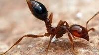 最近の話題で、「ヒアリ」(毒針を持った蟻)ですが、 各メディアなどでは、「ヒアリ」にヒヤリ・・・は禁句でしょうか!?