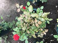 バラの水切れ後の手入れについて 急に家を空けなくてはならず、鉢植えのミニ薔薇6鉢、つるバラ2鉢に10日ほど水をあげることが出来ませんでした。 そのうち何日かは雨が降りましたが、家に戻って確認すると水切れの状態でカラカラに乾き茶色く変色した葉がパラパラと落ちてしまう状態です。 このまま葉が落ちでしまえばほぼ茎だけの状態になりそうなのですが、その状態から復活することは可能なのでしょうか? 今後バ...