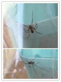 足の長い蜘蛛の名前を教えてください。 写真の蜘蛛を浴室で発見しました すごく歩くのが早く足も長いです。  外に逃がしたのですが、害のある蜘蛛でしょうか?  今度見つけた時の注意点なども教えていただけますでしょうか?  よろしくお願いします。