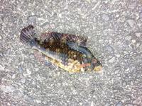 近所の漁港で釣れた魚ですが、なんという魚ですか? 大きさは10センチ~15センチくらいです。