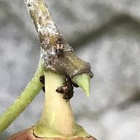 イチジクに写真のような虫がつき実を食べます。実を取ると中から出てはしまいます。なんという虫で、虫を退治する方法はありますか?実を割って痛んでなければ食べても大丈夫でしょうか?宜しく お願い致します。