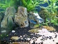 (熱帯魚)グリーンネオンテトラの病気?  どうもはじめまして。  写真のようにグリーンネオンの背びれに丸い出来物?っぽい物があり口の周りも小さい粒があります。他のテトラと比べて微妙 に体色が悪いようにも思えます。  白点病や尾くされ病?とは少し違う気がします。  ◆環境 水槽は40cm×30cm×30cmで水は30L程。 立ち上げて二週間程度で、水替えは最初の一週間は1/...
