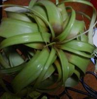 育てているキセログラフィカの中心部が茶色くなって来ました。(添付した写真は水遣りをした直後です。) 外側の根はしっかりしています。また指を入れて根元の葉を触るとしっかりとしていて腐 っている様子はあ...