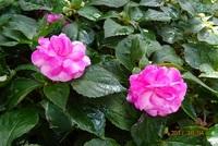 この花の名前教えてください。バラみたいですが トゲはなく地面にはえています。