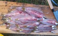干物つくりや魚の背開きに詳しいかたに伺います。 私は趣味として釣ってきた魚を家で料理して食べる釣魚料理を楽しんでいます。 先日カマスを背開きにて干物にしました。 そこでお教え願いたいのですが、添付画像...
