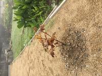 9月にもみじの苗を地植えしましたが、 枯れてしまいそうです。 元々、固い地盤の上に真砂土を10センチ程 置いた状態の所に植えたのですが、 知識がなく深く掘ったり、腐葉土を敷いたりせず に植えたためかと...