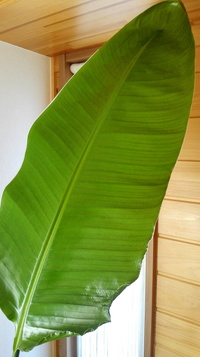 観葉植物が大きくなりすぎてしまいました。 剪定方法が分かりませんが 名前すらもわかりません。 教えて下さい。