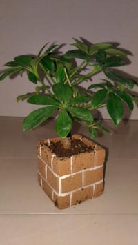 観葉植物 について質問お願いします。 いまひょろひょろ枝が長く伸びたガジュマルを玄関先で育てています。幹も太くないので暖かくなったら長くなってる所を切って同じ鉢の中に一緒に植えてあげたいと思っています。 挿し木等したことない素人なんですが同じ鉢に細いガジュマルを挿し木?し合うのは大丈夫でしょうか?  あと、カポックを室内で育てています。室内の午前中日当たりが良くないので午後から窓際で太陽に当...