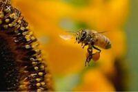 蜂って保護色じゃないんですか? 私は下の画像を観て保護色だと思ったんですけど 保護色じゃなくて警戒色なんですか? そこのところを解説?して頂ければ幸いです。