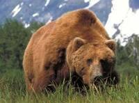 アラスカヒグマに天敵はいますかね。
