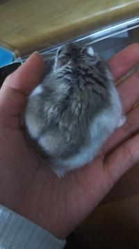 飼っているジャンガリアンハムスターの♂約8ヶ月の子の毛並みが写真のようになっているのですが、毛並み悪いですか?また直したりは出来ないのでしょうか?体重は45gで夜も元気に動いています。