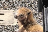 この生き物は一体なんでしょうか? 体はまだ小さく尻尾もほぼありません。 耳は少し尖っていて アナグマの子供?でもないように思います。 鼻もそんなに長くないし 狐と狸を混ぜたような… 教えてください!