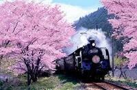 桜もそろそろ開花の時期ですね。  お好きな桜はどんな桜ですか。  ソメイヨシノ・八重桜・シダレザクラ等々