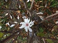 白い花の名前が知りたいです。春になったので散歩に良く出かけています。色々な花を見て癒されているのですが、今日見た花が何の花か知りたいです。道路脇に植えられていたのですが、ほとんど散 ってしまっていて...