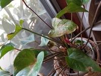アンスリュームの花芽(赤い葉)が出てきた~と喜んでたら葉が枯れそうになってきました 何が原因でしょうか 植え替えた方がいいでしょうか? ちなみに窓際の日の当たるところに置いてます。 よろしくお願いいたします