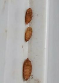 これは何ですか?冷蔵庫のドアの隙間に着いてました。 蛹だと思いますが、なんの虫の蛹ですか? まだ写真の他に20個くらい張り付いてます。