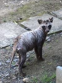 この不気味な動物、何という名前でしょうか? 今日、我が家の庭先を歩いていました。大きさは中型犬より少し小さめでした。目が合っても逃げず堂々とした様子です。ハクビシンやイタチの仲間か とも思いましたが、該当するような動物は見つかりませんでした。