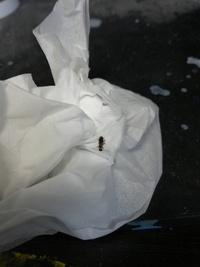 画像の虫はシロアリでしょうか? 子供が部屋の中で「虫がいるよ」と教えてくれたので捕まえてみたら蟻のようだけどクビレっぽいのがないようにみえたのですが 小さすきて触覚が数珠つなぎかど うかまでは見えず…  スマホので接写したのですがピントがあわず とても見にくい画像ではありますがよろしくお願い致します