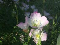祖母の庭に名前の分からない花がいっぱい咲いてました。この花の名前はなんていうんでしょうか?