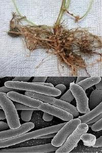アゾトバクターと根粒菌は、液体の培地や固形の培地に培養することは可能でしょうか?