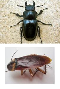 メスカブトムシとゴキブリの見分け方はレスポール(本物)とコンバージョンの見分け方と同じですか? レスポール(本物)=トップ5対5のセンター合わせ   コンバージョン(非本物)=トップ4対6のカッコ悪い合わせ ...