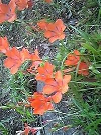 友人が送ってきました。 キツネノカミソリではないか?ということですが、ちょっと花びらが違うような気がします。 いかがでしょうか? よろしくお願いします。