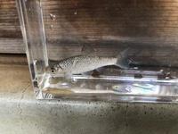 この魚は何ですか?ザリガニやメダカのいる濁った用水路で捕まえました。飼うとしたらハヤと混泳はできますか?