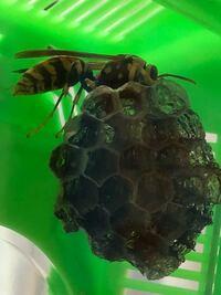 アシナガバチ(多分女王蜂)と小さな巣を採取したのですが…飼うことは可能ですか? 成虫の餌は昆虫ゼリー、巣の拡大の為の材料は枯葉や枝などで大丈夫ですか?