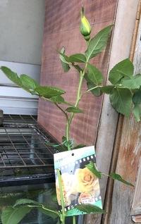 ht黄バラのヘンリーフォンダ、秋月 fl黄バラの フリージア(サンスプライト) の見分け方はわかりますか?  先日 フリージアの新苗を購入したのですが、パサっと簡単に札が落ちてしまいました 。 隣に秋月 ・ヘンリーがあったので、もしかしてこちらの可能性もあると思い始め 悩んでいます。  購入した新苗の先には蕾が2つあったのでflのフリージアかなと思ったのですが、htでも複数つく...