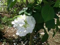 花の名前が分かりません。花自体はアジサイのような感じなのですが木に咲いています。