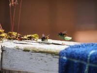 このハチはミツバチですか?初めて見るタイプのハチなんで種類を教えてください。