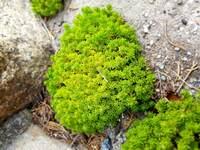 道端にあったのですがこれは苔ですか? それとも雑草? 名前を教えてください。