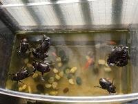 カブトムシが金魚の水槽へ飛び込みます…  昨年もらったカブトムシが卵を産み、約30匹の幼虫を育てていました。 ほぼ無事に成虫になり、うちの子どもも喜んでいるのですが…  管理の甘い虫か ごから夜中に脱走したカブトは、朝になるとなぜか金魚の水槽に浮いています… 先週から計4回。  昨夜は大脱走出来たらしく、8〜9匹が金魚の水槽で浮いていました(T . T) 幸い、1匹も死んで...