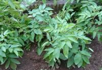 ジャガイモの収穫ですが、今日も(昨日の雨で)ぬかっていたので収穫しまでんでした。 現在、写真の状態です。(ところどころ黄ばんできました) 来週もぬかっていた場合、みなさんどうしますか?