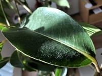 観葉植物(ツピダンサス)の葉や茎に細かい粉のようなものが付いてます。指でこすると簡単に取れるのですが、虫とか病気とかでしょうか?