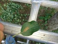 数日前にリンゴ畑で見つけました。 葉っぱとほぼ同化しているこの虫は何と言う虫ですか?